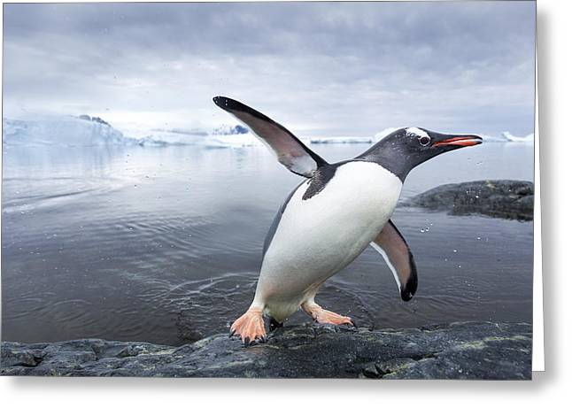 Startled Greeting Cards - Antarctica, Cuverville Island, Gentoo Greeting Card by Paul Souders