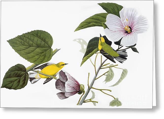 Audubon Greeting Cards - Audubon: Warbler, (1827-38) Greeting Card by Granger