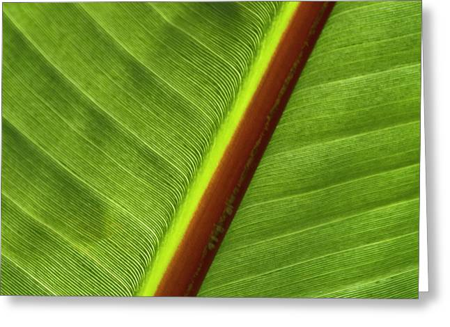 Square_format Greeting Cards - Banana Leaf Greeting Card by Heiko Koehrer-Wagner