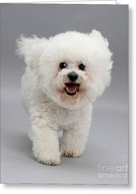 House Pets Greeting Cards - Bichon Frise Greeting Card by Jane Burton