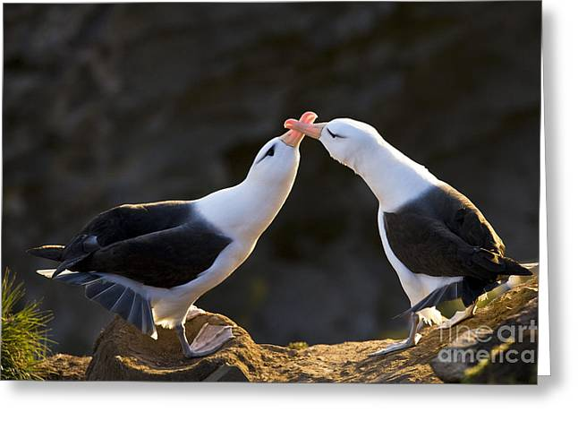 Black-browed Albatross Couple Greeting Card by Jean-Louis Klein & Marie-Luce Hubert