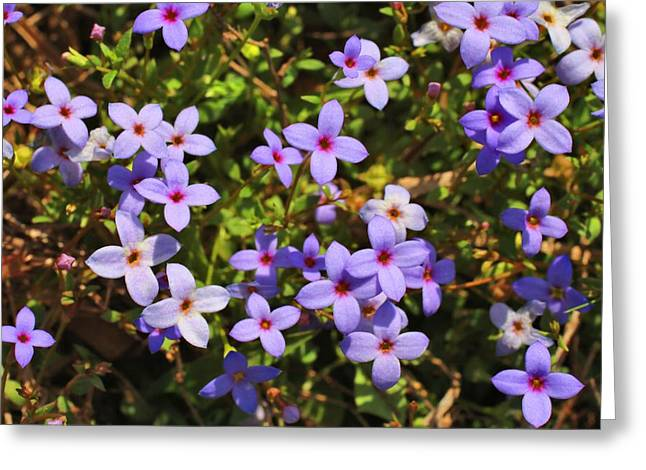 Quaker Greeting Cards - Bluets Greeting Card by Kathryn Meyer