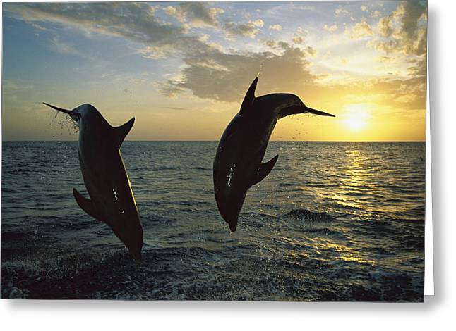 Cetaceans Greeting Cards - Bottlenose Dolphin Tursiops Truncatus Greeting Card by Konrad Wothe