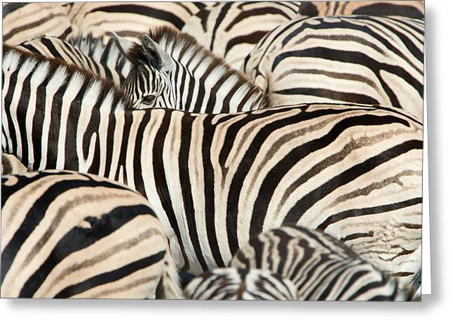 Animal Body Part Greeting Cards - Burchells Zebras Equus Quagga Greeting Card by Panoramic Images