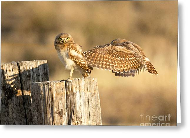 Bird Summit Greeting Cards - Burrowing Owls Greeting Card by Dennis Hammer