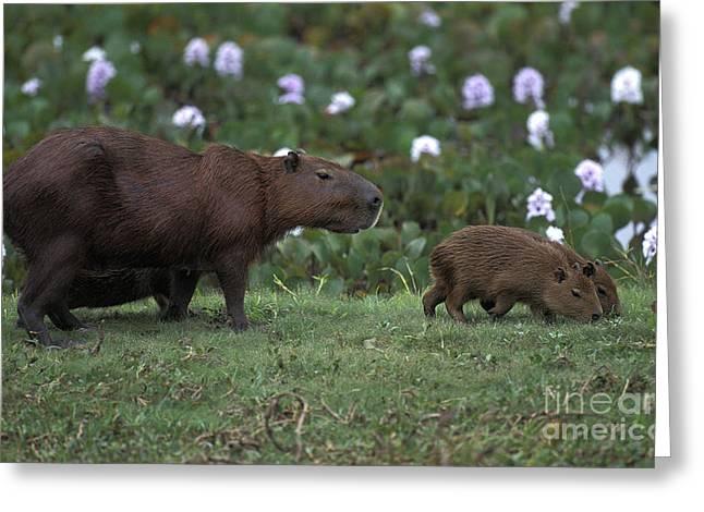 Capybara Hydrochoerus Hydrochaeris Greeting Card by Gerard Lacz