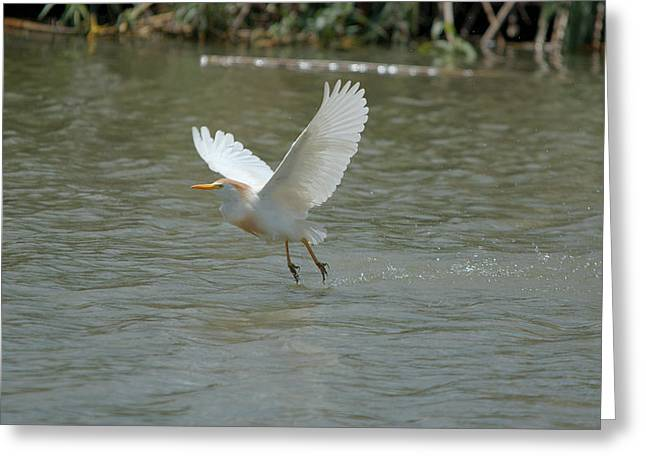 Hunting Bird Greeting Cards - Cattle Egret Cooling Off In The Lake Greeting Card by Roy Williams