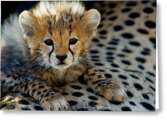 Close-up Of Cheetah Acinonyx Jubatus Greeting Card by Panoramic Images