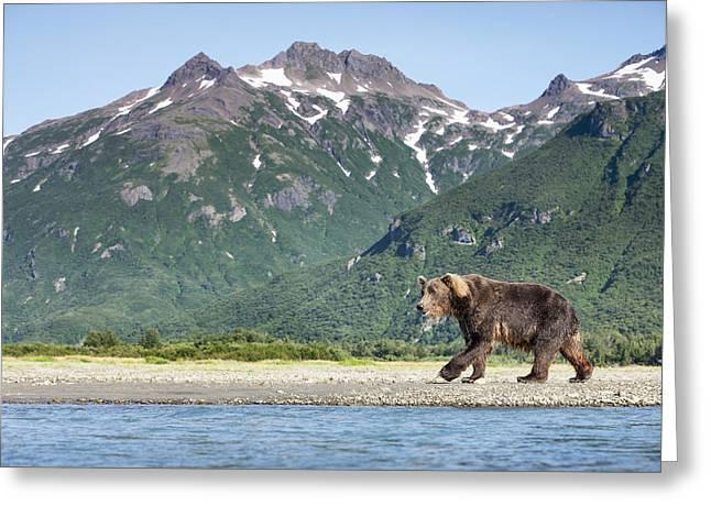 Alert Bay Greeting Cards - Coastal Brown Bear  Ursus Arctos Greeting Card by Paul Souders
