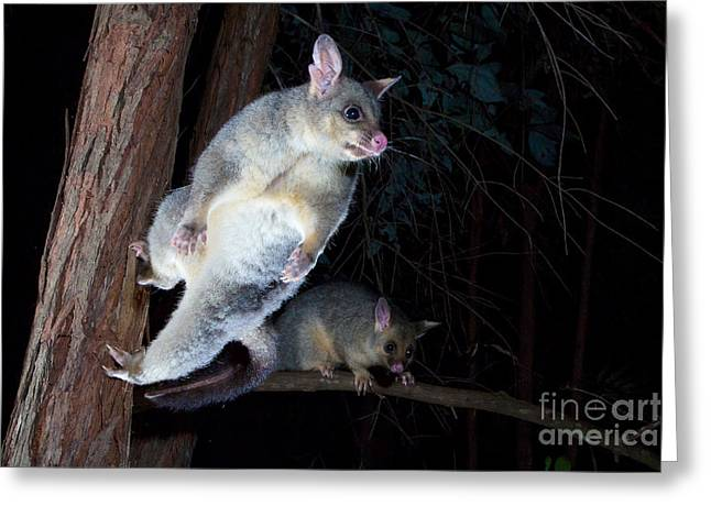 Brushtail Greeting Cards - Common Brushtail Possum Greeting Card by B.G. Thomson