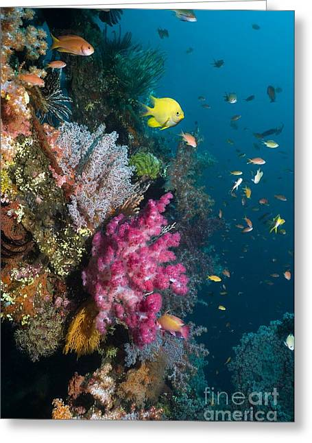 Reef Fish Greeting Cards - Coral Reef, Indonesia Greeting Card by Georgette Douwma