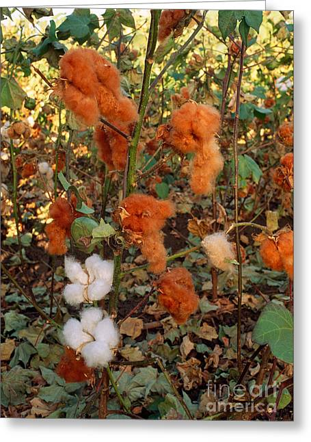 Farmers Field Greeting Cards - Cotton Bolls Greeting Card by Inga Spence