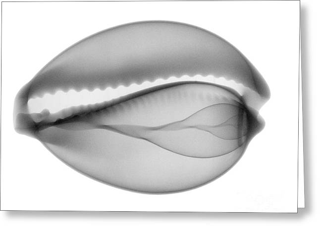 Radiograph Greeting Cards - Cowry Shell Greeting Card by Ted Kinsman