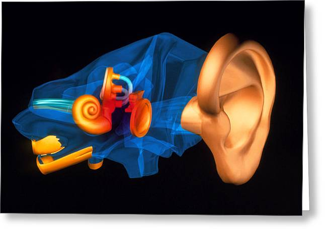 Hearing Greeting Cards - 3-d Computer Model Of The Anatomy Of The Human Ear Greeting Card by Pasieka