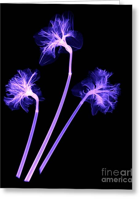 Botanics Greeting Cards - Daffodils Greeting Card by Ted Kinsman