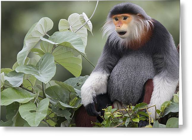 Douc Langur Male Vietnam Greeting Card by Cyril Ruoso