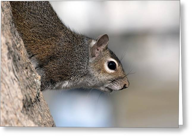 Best Sellers -  - Sciurus Carolinensis Greeting Cards - Eastern Gray Squirrel Greeting Card by Allan  Hughes
