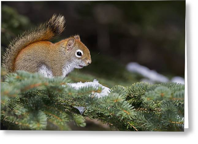 Sciurus Carolinensis Greeting Cards - Eastern Grey Squirrel  Sciurus Greeting Card by Philippe Henry