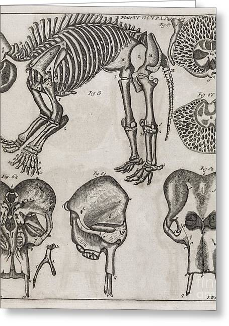 Philosophical Transactions Greeting Cards - Elephant Anatomy, 18th Century Greeting Card by Middle Temple Library