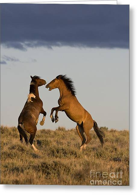 Hierarchy Greeting Cards - Fighting Stallions Greeting Card by Jean-Louis Klein & Marie-Luce Hubert