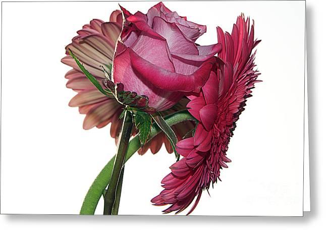 Gerber With Rose Greeting Card by Elvira Ladocki