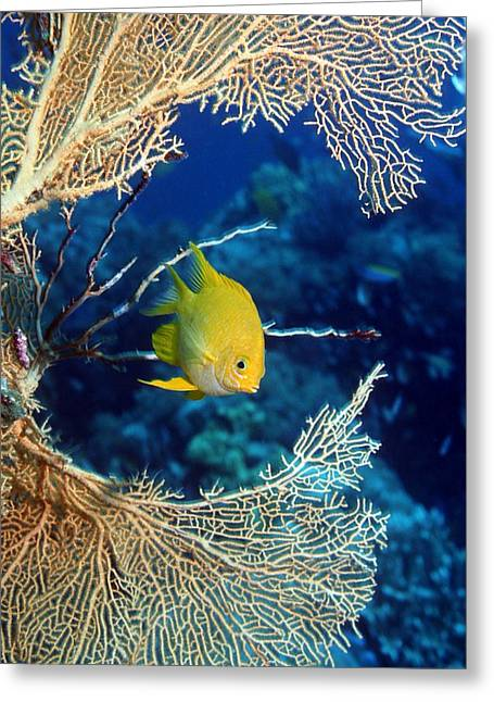 Reef Fish Photographs Greeting Cards - Golden Damselfish Greeting Card by Georgette Douwma