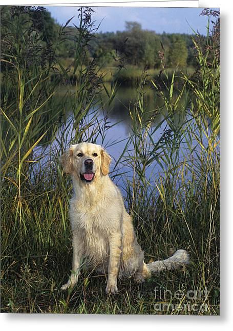 Golden Marsh Greeting Cards - Golden Retriever Greeting Card by Jean-Louis Klein & Marie-Luce Hubert