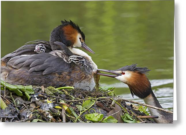 Feeds Chicks Greeting Cards - Great Crested Grebes Feeding Chick Greeting Card by Dickie Duckett