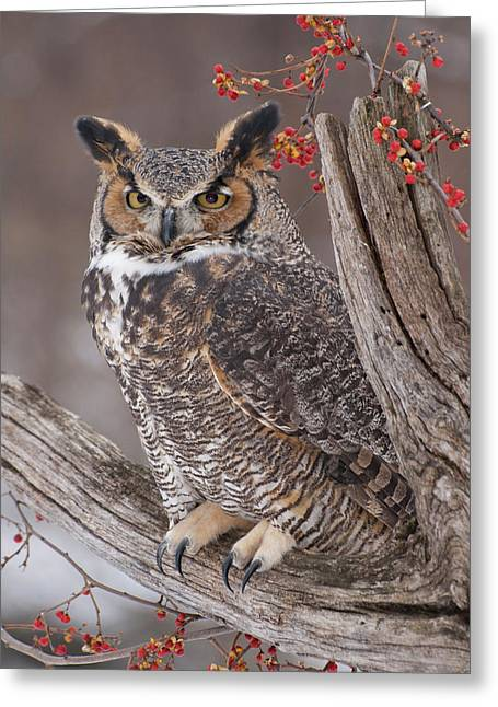 Bittersweet Greeting Cards - Great Horned Owl Greeting Card by Cindy Lindow