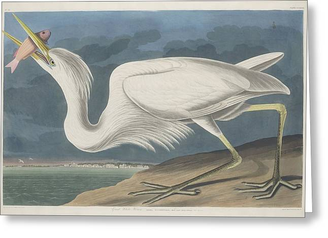 Shorebird Greeting Cards - Great White Heron Greeting Card by John James Audubon