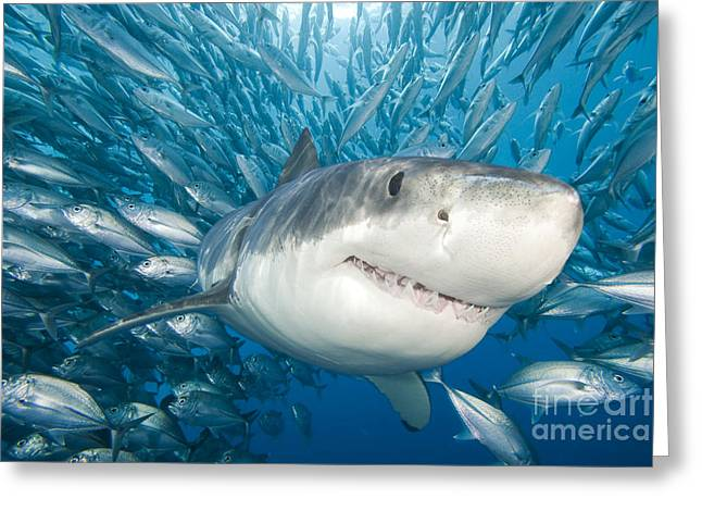 Sharp Teeth Greeting Cards - Great White Shark Greeting Card by Dave Fleetham - Printscapes