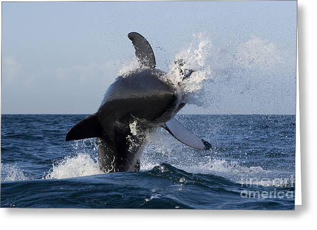 White Shark Greeting Cards - Great White Shark Greeting Card by Jean-Louis Klein & Marie-Luce Hubert
