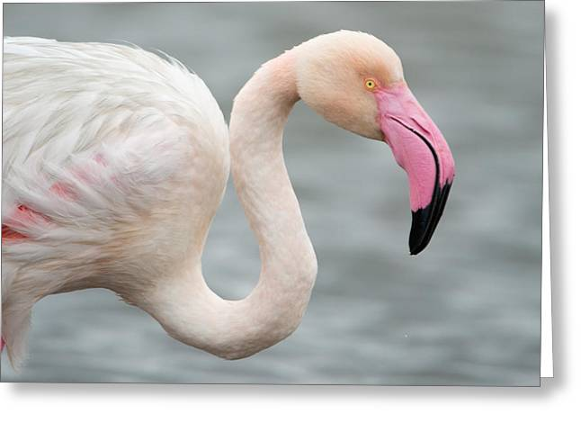 Greater Flamingo Greeting Cards - Greater Flamingo Phoenicopterus Roseus Greeting Card by Panoramic Images