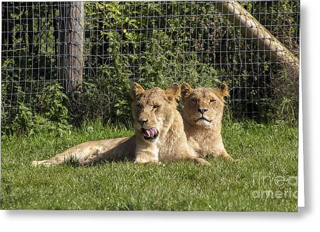 Lioness Greeting Cards - Lioness Greeting Card by Sebastien Coell