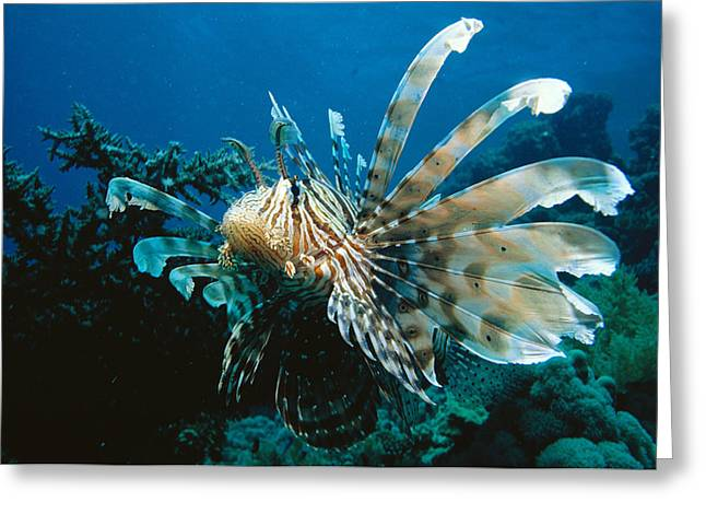 Lionfish Greeting Cards - Lionfish Greeting Card by Georgette Douwma