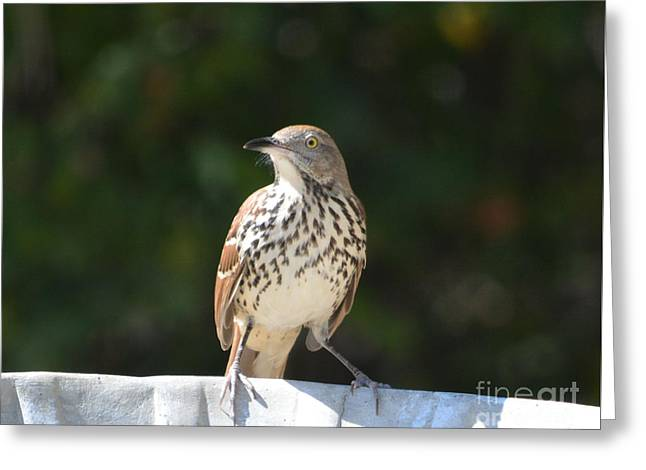 Print Photographs Greeting Cards - Looking Alert  Greeting Card by Ruth  Housley