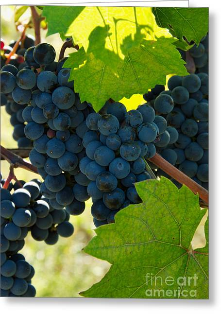 Marechal Greeting Cards - Marechal Foch Grapes Greeting Card by George Mattei