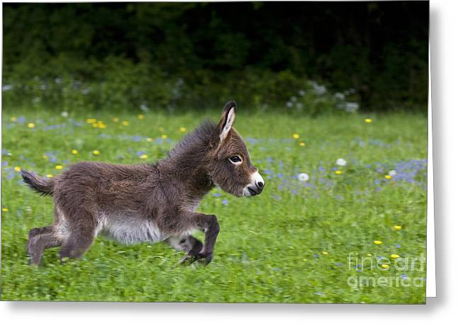 Spring Scenes Greeting Cards - Miniature Donkey Foal Greeting Card by Jean-Louis Klein & Marie-Luce Hubert