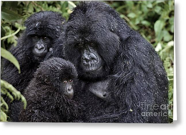 Caring Mother Greeting Cards - Mountain Gorilla Family Group Greeting Card by Tony Camacho