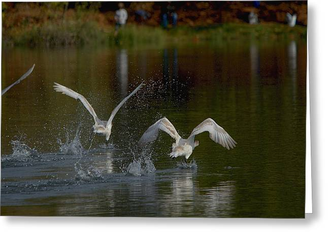 Swans... Greeting Cards - Mute Swans Beginning Flight From The Lake Greeting Card by Roy Williams