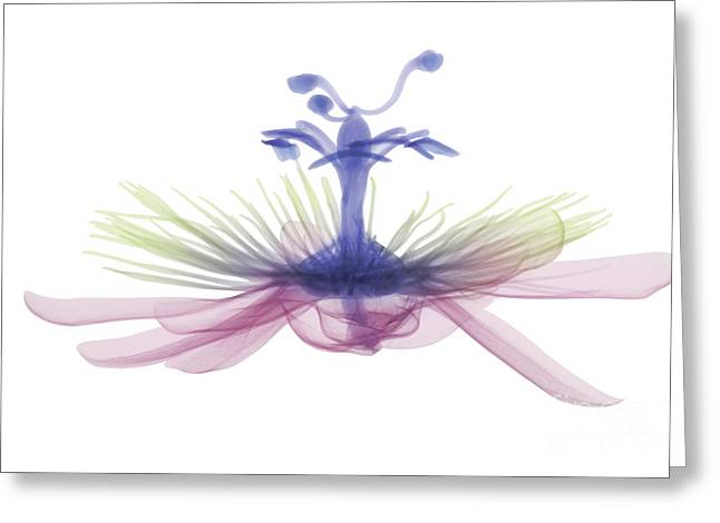Passion Flower, X-ray Greeting Card by Ted Kinsman
