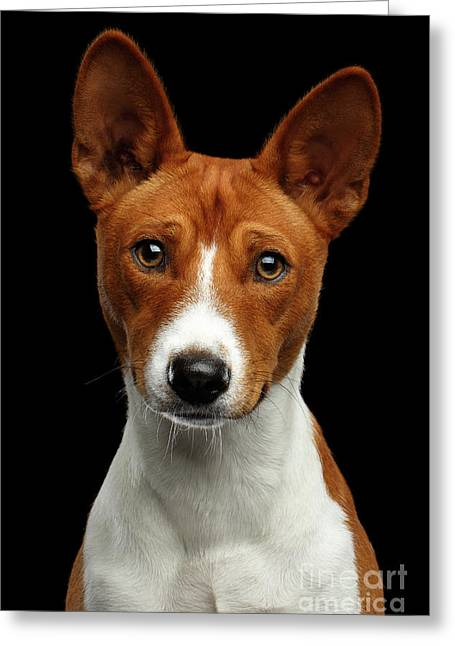 Pedigree White With Red Basenji Dog On Isolated Black Background Greeting Card by Sergey Taran