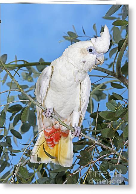Philippine Or Red-vented Cockatoo Greeting Card by Gerard Lacz