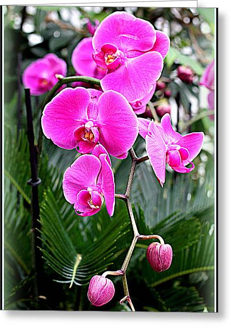 Pink Orchids Greeting Card by Mindy Newman