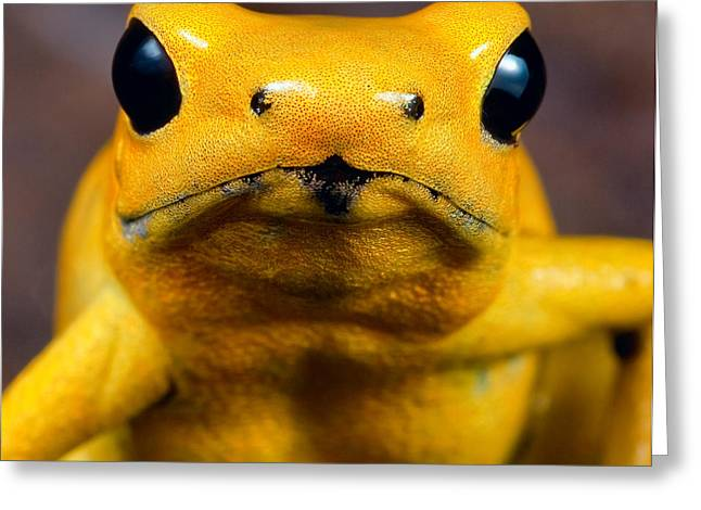 Amazons Greeting Cards - Poison dart frog Greeting Card by Dirk Ercken