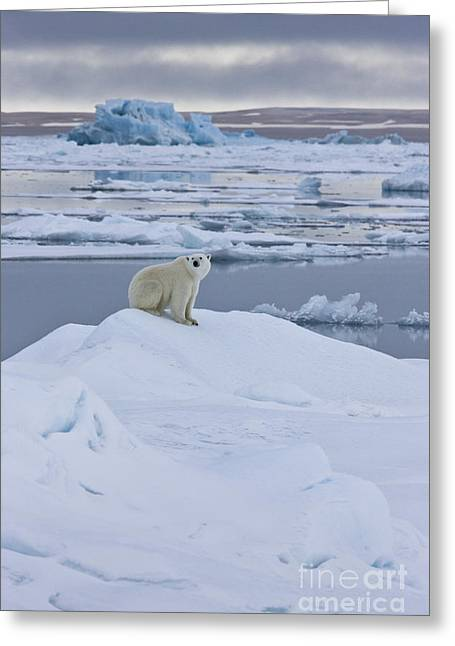 Polar Bear In Svalbard Greeting Card by Jean-Louis Klein & Marie-Luce Hubert