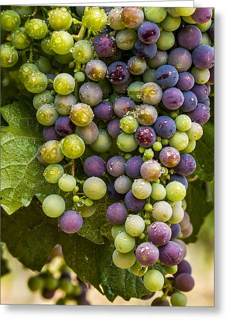 Mountain Valley Greeting Cards - Red Wine Grapes Hanging on the Vine Greeting Card by Teri Virbickis
