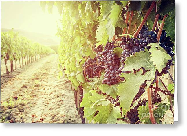 Ripe Wine Grapes On Vines In Tuscany Vineyard, Italy Greeting Card by Michal Bednarek
