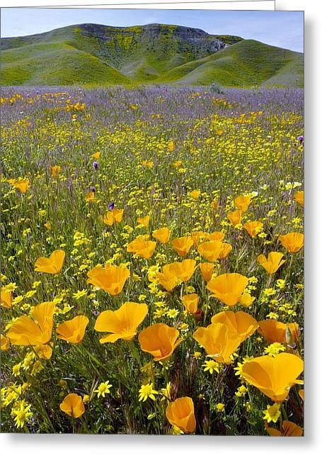 California Orange Poppy. Yellow Poppy Greeting Cards - Shell Creek, California Greeting Card by Bob Gibbons
