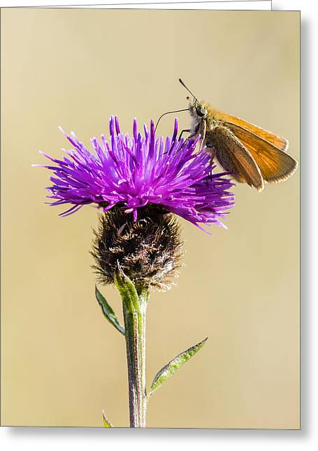 Invertebrates Greeting Cards - Small Skipper Greeting Card by Chris Smith